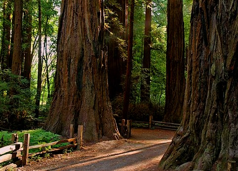Henry Cowell Redwood Highway 1 California